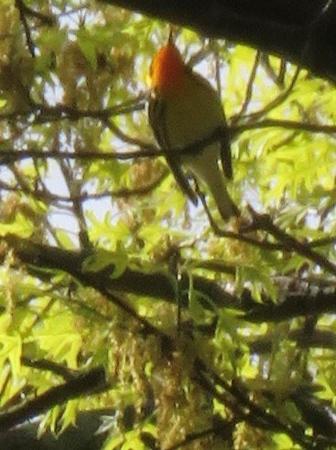 Blackburnian Warbler at Mount Auburn Cemetery