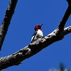 Red-headed Woodpecker in Manomet section of Plymouth