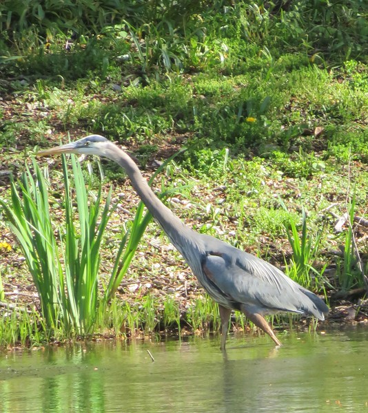 Great Blue Heron at Mount Auburn Cemetery