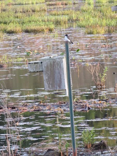 Eastern Kingbird at Stony Brook Wildlife Sanctuary