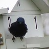 Purple Martin at Stony Brook Wildlife Sanctuary
