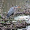 Great Blue Heron at Stony Brook Wildlife Sanctuary