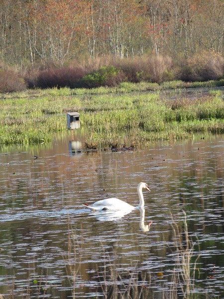 Mute Swan at Stony Brook Wildlife Sanctuary