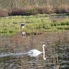Mute Swan at Stony Brook Wildlife Sanctuary