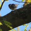 Black-and-White Warbler at Mount Auburn Cemetery