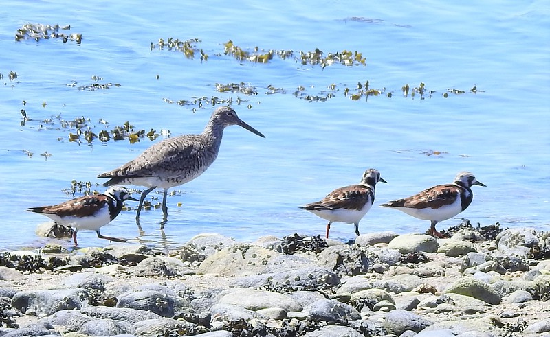 Willet and Ruddy Turnstones