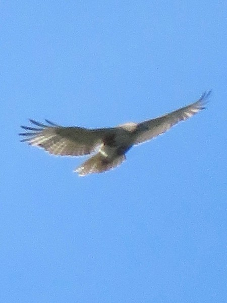 Red-Tailed Hawk at Mount Auburn Cemetery