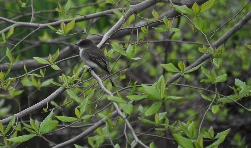 "<font size=""4""><strong>The eastern phoebe</strong></font>"