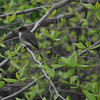 """<font size=""""4""""><strong>The eastern phoebe</strong></font>"""