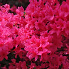 "<font size=""4""><strong>and beautiful spring azaleas.</strong></font>"
