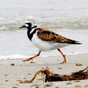 "<font size=""4""><strong>And the ruddy turnstone.</strong></font>  Photo courtesy of Susan Wrublewski"
