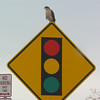 """<font size=""""4""""><strong>Some, easy to spot like this Cooper's hawk.</strong></font>  Photo courtesy of Brian Scott"""
