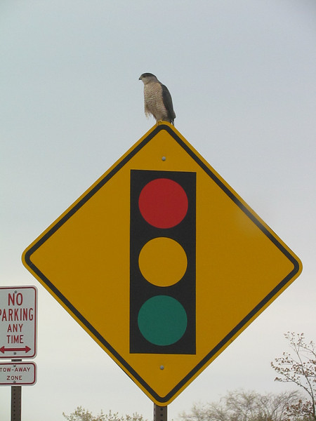 "<font size=""4""><strong>Some, easy to spot like this Cooper's hawk.</strong></font>  Photo courtesy of Brian Scott"