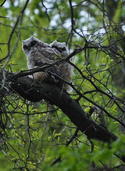 "<font size=""4""><strong>Recently fledged great-horned owlets!</strong></font>"