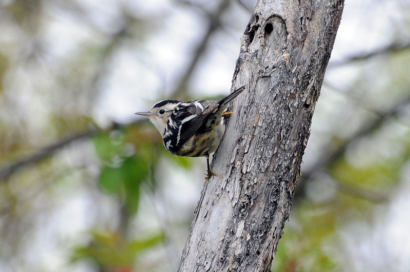"<font size=""4""><strong>The black-and-white warbler</strong></font>  Photo courtesy of Bill Lawless"