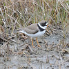 """<font size=""""4""""><strong>The semipalmated plover</strong></font>  Photo courtesy of Bill Lawless"""