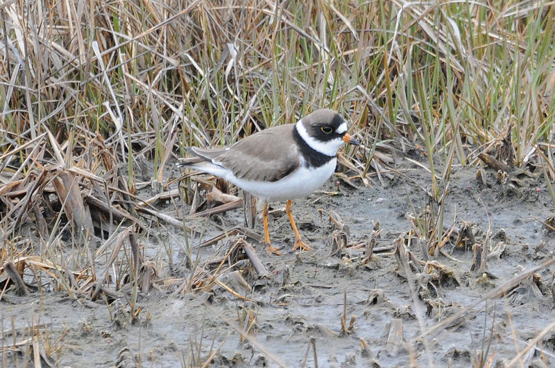 "<font size=""4""><strong>The semipalmated plover</strong></font>  Photo courtesy of Bill Lawless"