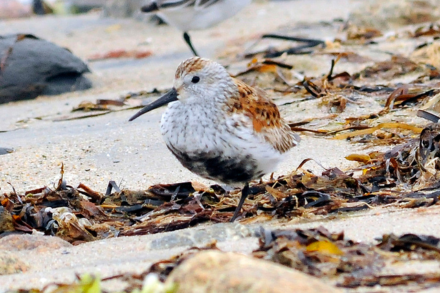 "<font size=""4""><strong>The dunlin</strong></font>  Photo courtesy of Susan Wrublewski"