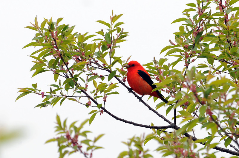 "<font size=""4""><strong>The scarlet tanager</strong></font>  Photo courtesy of Bill Lawless"