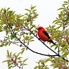 """<font size=""""4""""><strong>The scarlet tanager</strong></font>  Photo courtesy of Bill Lawless"""