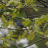 """<font size=""""4""""><strong>The northern parula</font>"""