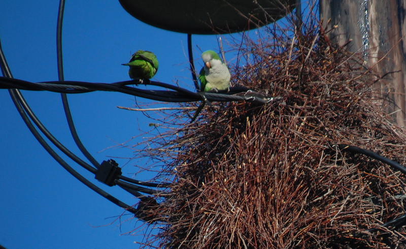 "<font size=""4""><strong>Among the more unusual were the Monk parakeets</strong></font>  Photo courtesy of Christy Goff"