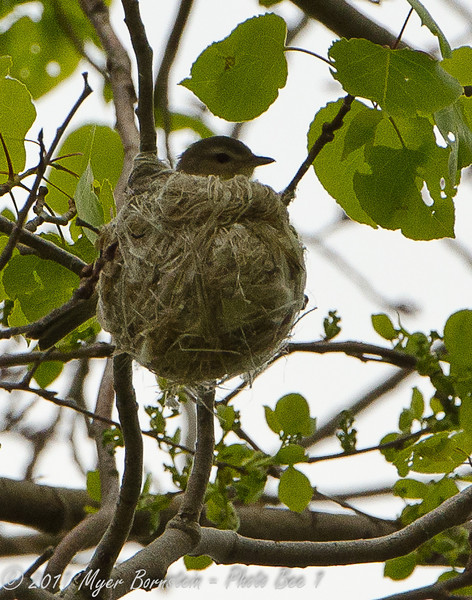 "<font size=""4""><strong>The warbling vireo</strong></font>  Photo courtesy of Myer Bornstein"