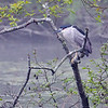 "<font size=""4""><strong>The black-crowned night-heron</strong></font>  Photo courtesy of Myer Bornstein"