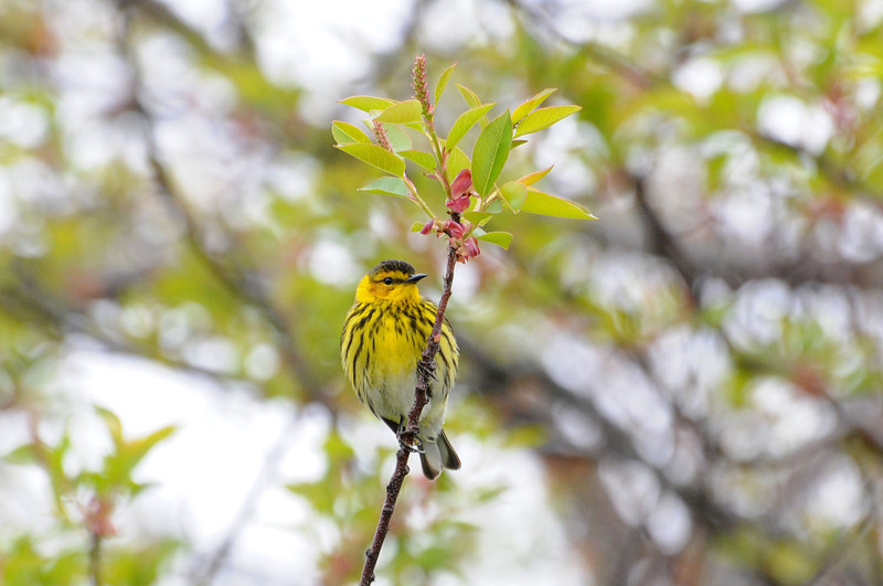 "<font size=""4""><strong>The Cape May warbler</strong></font>  Photo courtesy of Bill Lawless"