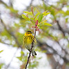 """<font size=""""4""""><strong>The Cape May warbler</strong></font>  Photo courtesy of Bill Lawless"""