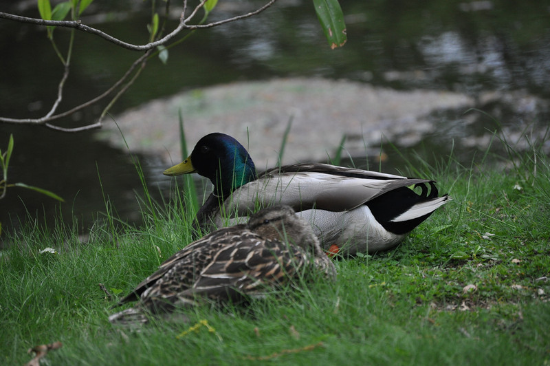 """<font size=""""4""""><strong>There were, of course the relatively common (yet always exciting) sightings like this pair of mallards.</strong></font>"""