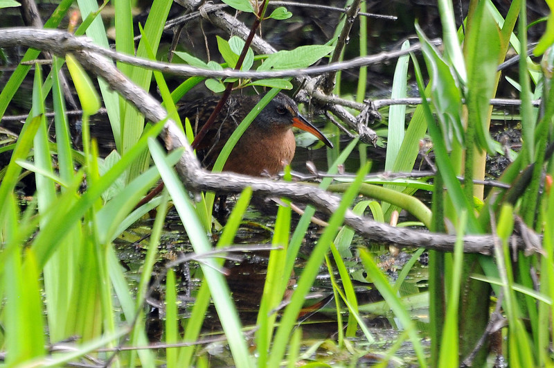 "<font size=""4""><strong>Others, like the Virginia rail, were a little more challenging.</strong></font>  Photo courtesy of Bill Lawless"