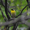 "<font size=""4""><strong>The common yellowthroat</strong></font>"