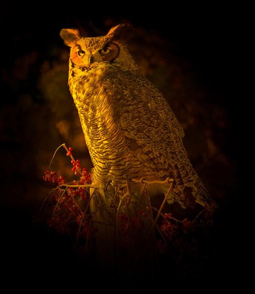 Philp Langford - Horned Owl.jpg