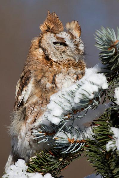 Philp Langford - Red-Screech-Owl.jpg