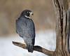 Philp Langford - Peregrine-Falcon.jpg