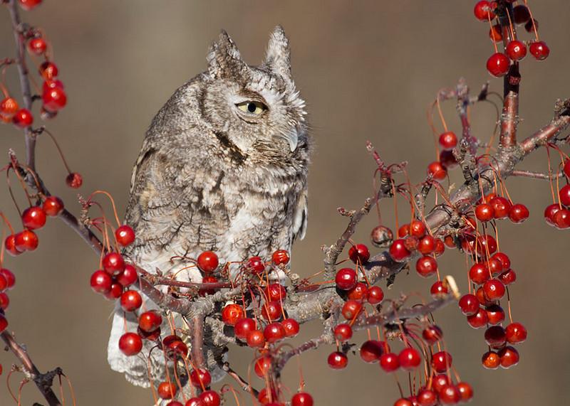 Philp Langford - Grey-Screech-Owl.jpg