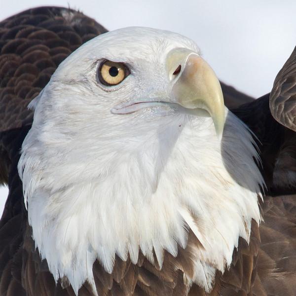 Philp Langford - Bald-Eagle.jpg