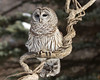 Philp Langford - Barred Owl.jpg