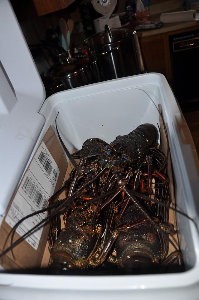 Spiny Lobsters, still kicking.