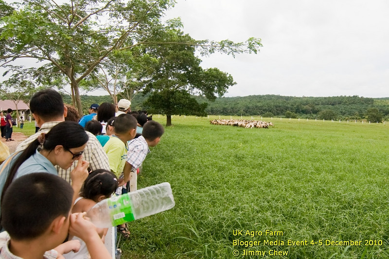 Anxious visitors lined up by the fence to catch a glimpse of the herding process. The sheepdog has not closed in yet.