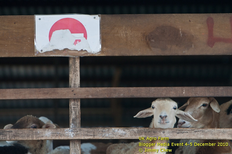"A ""no entry"" sign is displayed at the goat pen as one of them watching by."