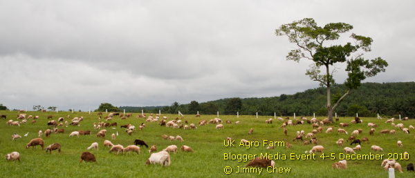 Goats at the vast grass grazing land. UK Agro Farm has a total area of 130 acres of farm land from Kluang Modern Agriculture Project.