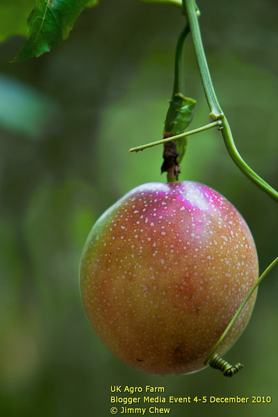 A Passion Fruit amongst the thousands more being grown at the Passion Fruit Street. They are not for public plucking.