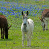 Donkeys are added to the mix of Longhorns to help protect the baby calves from coyotes and wild dogs.