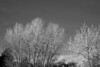 Greensview Cottonwoods b&w
