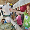 Celia Moeser, 3, reaches in to pet a cow at the Bolton Fair on Saturday morning. SENTINEL & ENTERPRISE / Ashley Green