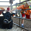 Jack Deroses, 7, of Bedford, reaches in to pet a cow at the Bolton Fair on Saturday morning. SENTINEL & ENTERPRISE / Ashley Green