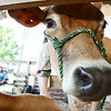 A cow peeks her head out of her cage at the Bolton Fair on Saturday morning. SENTINEL & ENTERPRISE / Ashley Green