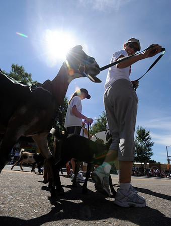 """Liberty Livestock Dairy Goats were among the participants in the parade.<br /> The Boulder County Fair Parade was held in downtown Longmont on Saturday.<br /> For more photos  and a video of the parade, go to  <a href=""""http://www.dailycamera.com"""">http://www.dailycamera.com</a><br />  Cliff Grassmick / July 31, 2010"""
